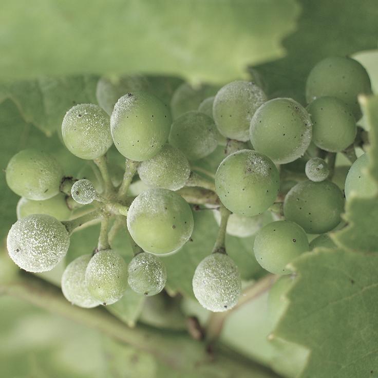 Vine disease arrives in SA